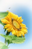 Yellow sunflower Stock Image
