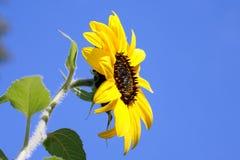 Yellow sunflower. Royalty Free Stock Image
