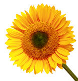 Yellow sunflower Stock Photo