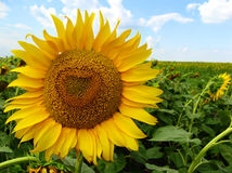 Yellow sunflower. On agricultural plantations in Serbia Stock Photos