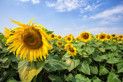 Yellow sunflower against a blue cloudy sky Royalty Free Stock Photo