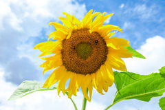 Yellow sunflower against blue sky background Stock Photography