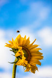 Yellow sunflower against the blue sky in Finland. Bumblebee flying over the flower. Royalty Free Stock Photography