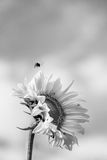 Yellow sunflower against the blue sky in Finland. Bumblebee flying over the flower. Royalty Free Stock Images