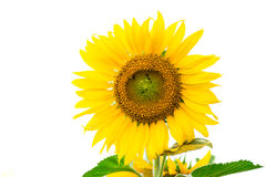 Yellow sunflower Stock Images