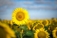 Yellow sunflower against the blue sky and green field Stock Photo