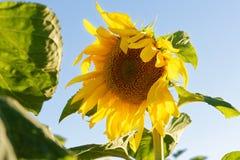 Yellow sunflower against the blue sky Stock Photos