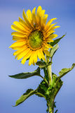 Yellow sunflower against a blue sky Stock Photography