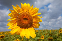 Yellow sunflower against clouds. summer landscape Royalty Free Stock Photo