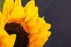 Yellow sunflower on against a rustic background Royalty Free Stock Image
