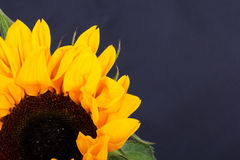 Yellow sunflower on against a rustic background Stock Photos