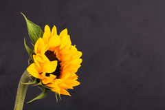 Yellow sunflower on against a rustic background Stock Images