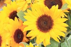 Yellow sunflower background Royalty Free Stock Photo