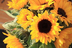 Yellow sunflower background Stock Photos