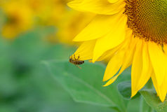 Yellow sunflower with a bee Royalty Free Stock Photo