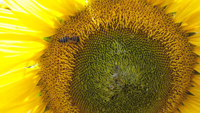 Yellow sunflower with bee Royalty Free Stock Image