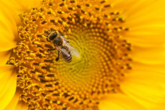 Yellow sunflower with a bee on it. Stock Images