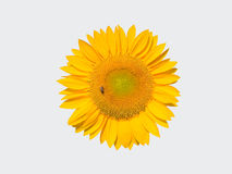 Yellow sunflower with bee isolated Stock Photo