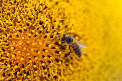 Yellow sunflower bee macro view. summertime nature scene. shallow depth of field Royalty Free Stock Image