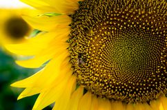 Yellow sunflower with bee rpick pollen Stock Photography