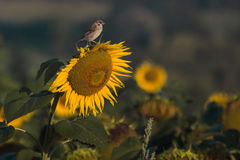 Yellow sunflower bird green field Stock Image