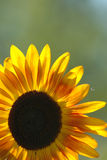 Yellow sunflower in bloom. With green nature background and copy space Stock Photography