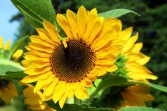 Yellow sunflower in bloom Stock Image