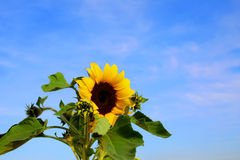 Yellow sunflower in bloom Royalty Free Stock Image