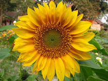 Yellow sunflower in bloom. Closeup of a bright yellow sunflower in bloom Royalty Free Stock Image