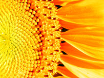 Yellow sunflower bloom detail Royalty Free Stock Photos