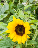 Yellow sunflower in bloom with green background Stock Images