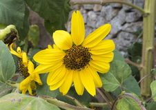 Yellow sunflower bloom in Locorotondo, Italy. Pictured is a closeup view of the round yellow bloom of a sunflower in the village of Locorotondo, Italy Stock Image