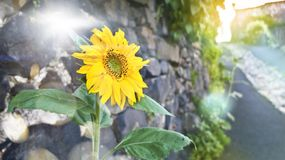 Sunflower natural background, sunflower blooming royalty free stock images