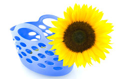 Yellow sunflower in blue shopping bag. Isolated on white background royalty free stock image