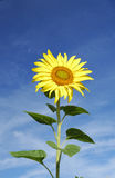Yellow sunflower on blue sky Stock Photo