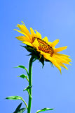 Yellow sunflower and blue sky Stock Photos