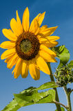 Yellow sunflower with blue sky background Royalty Free Stock Photography