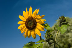 Yellow sunflower with blue sky background Stock Images