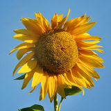 Yellow sunflower and blue sky. Background in summer Stock Images
