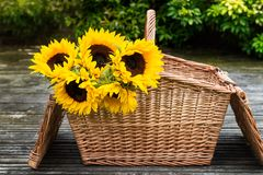 Yellow Sunflower Bouquet in the Basket. In the Garden, Green Leaves as a Background Royalty Free Stock Photography