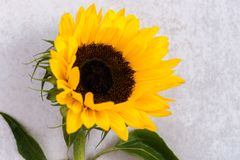 Yellow Sunflower Bouquet on Grey Background, Autumn Concept Royalty Free Stock Photo