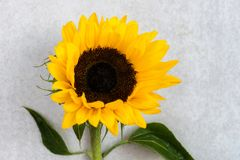 Yellow Sunflower Bouquet on Grey Background, Autumn Concept Stock Photo