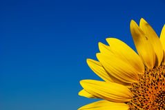 Yellow sunflower and bright blue sky Royalty Free Stock Photography