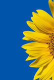 Yellow sunflower and bright blue sky Stock Images