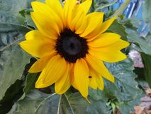 Yellow Sunflower and bug royalty free stock images