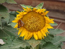 Yellow sunflower with butterfly. Fading sunflower with monarch butterfly stock photos