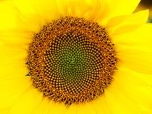 Yellow sunflower - close up. Beautiful yellow sunflower - close up Stock Image