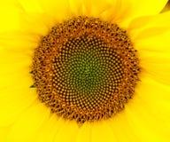 Yellow sunflower - close up. Beautiful yellow sunflower - close up Stock Images