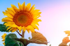 The yellow sunflower. Close-up The yellow sunflower in the sunflower field stands in the direction of the sun in the foreground of the frame, the background is Royalty Free Stock Photos