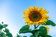 The yellow sunflower. Close-up The yellow sunflower in the sunflower field stands in the direction of the sun in the foreground of the frame, the background is Stock Image